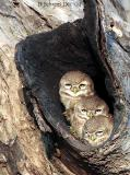 3 Spotted Owlets.jpg