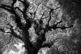 Fort Canning Tree Top (IR B & W)