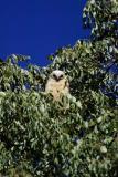 Pel's Fishing Owl juvenile