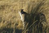 Cheetah trying to hide from us
