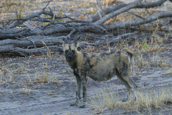 Wild dog - pregnant alpha female