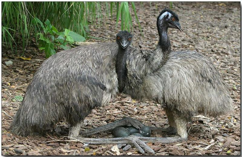 Emus, guarding the eggs