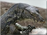 Water Monitor Lizard - a very young juvenile