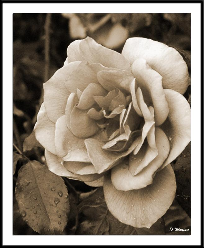 5/18/05 - A Rose is a ... <br><font size=3>ds20050513_0029acwF Rose.jpg</font>