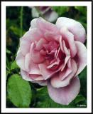 ds20050513_0029awF Rose.jpg