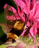 Snowberry Clearwing (Hemaris diffinis) moth 1799 (V39)
