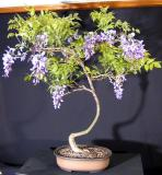 Wisteria - 11 May 2005