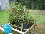 lots of tomatoes!