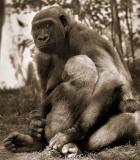 gorilla son