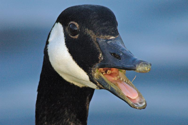 Angry Goose (681Hits)