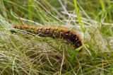 Northern Eggar Caterpillar