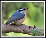 Pudgy Red-Breasted Nuthatch
