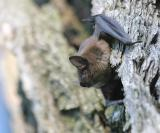 Unidentified Bat