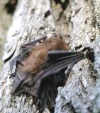 Big Brown Bat?