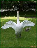 100_8168Swans at Botanic gardens.jpg