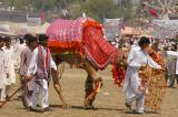 Camel at Vasakhi