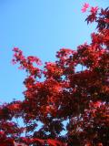 Red Leaf Maple