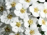 Bridal Veil Bouquet Florets