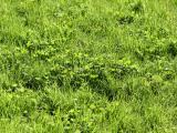 May Clover & Grass