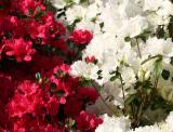 Red & White Azaleas