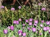 Allium & Tulips
