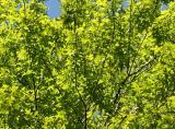 New Oak Foliage