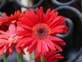 Gerbera - Flower Box at Baboo Restaurant on Waverly Place