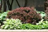 Hosta & Mixed Foliage
