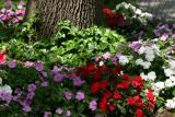 Impatiens NYU Silver Towers