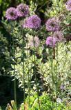 Allium & Salvia