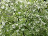 Black Locust Tree Blossoms WSP