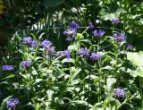 Blue Bachlelor Buttons - Centaurea cyanus