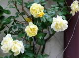 Trellis Rose Bush