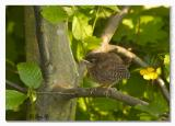 Young Wren in Hornbeam hedge