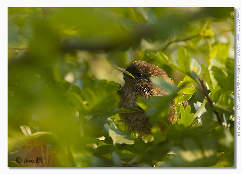 Young Wren in Hawthorne hedge