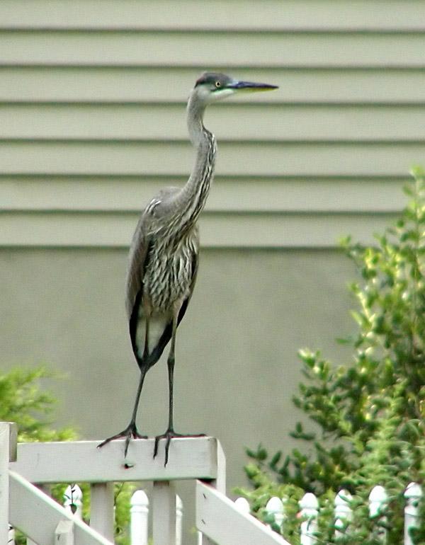 Heron before