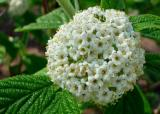 Leatherleaf Viburnum bloom