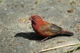 Red-billed firefinch.jpg