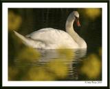20050520 Swan through yellow Rape Flower
