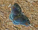Red Spotted Purple (2005)