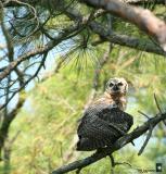 preening interrupted. juvenile great horned owl