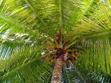 ombre sous cocotier
