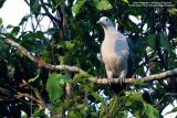 Green Imperial-Pigeon   Scientific name - Ducula aenea aenea   Habitat - Lowland and middle elevation forest.   [350D + Sigma 300-800 DG + Tamron 1.4x TC, 1120 mm at f/13]