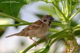 Eurasian Tree Sparrow   Scientific name - Passer montanus   Habitat - Common in virtually every inhabited island.   [350D + Sigmonster (Sigma 300-800 DG)]