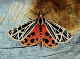 virgin-tiger-moth-5599.jpg