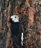 white-headed woodpecker Female Wenas CG-2