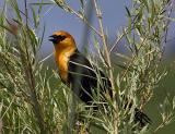 yellow-headed blackbird TNWR-3