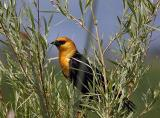 yellow-headed blackbird TNWR-4
