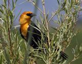 yellow-headed blackbird TNWR-5