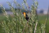 yellow-headed blackbird TNWR-2
